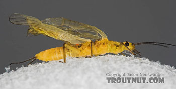 Isoperla or Yellow Sally or Little Yellow Stonefly. Image by Jason Neuswanger at TroutNut.com