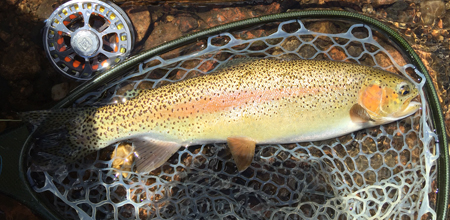 Sherap Tharchen caught this Gorgeous Rainbow on a Top Secret Midge on the South Platte River near Deckers.