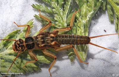 Skwala Stonefly Nymph